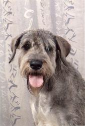Thoueris V Amber, chien Schnauzer