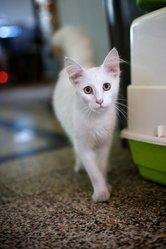 Frioul , chat Angora turc