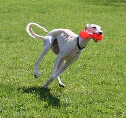 Dario, chien Lévrier espagnol