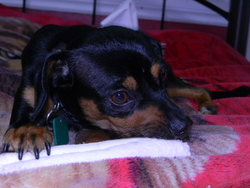 Diamond, chien Pinscher