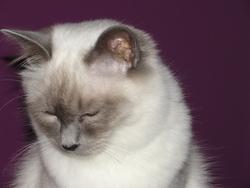 Comète, chat Birman