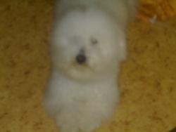 Timy, chien Bichon bolonais