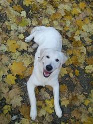 Jackson, chien Golden Retriever
