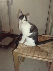 Pépino, chat Européen
