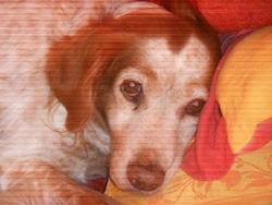 Belle , chien Épagneul breton