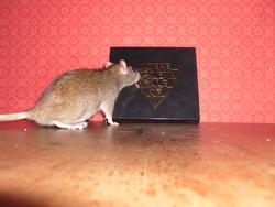 Malo, rongeur Rat