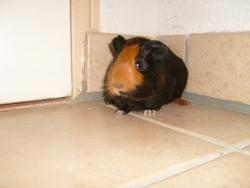 Kiara, rongeur Cochon d'Inde