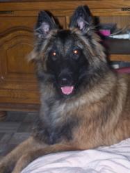 Ézia, chien Berger belge