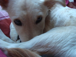 Sonny, chien Golden Retriever