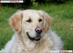 Bobby, chien Labrador Retriever