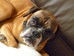 Rex , chien Boxer