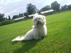 Austin, chien Lhassa Apso