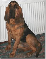 Begonia Du Hameau Jouas, chien Chien de Saint-Hubert