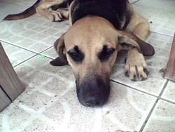 Fidji, chien Berger allemand