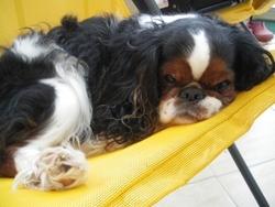 Nanou, chien King Charles Spaniel
