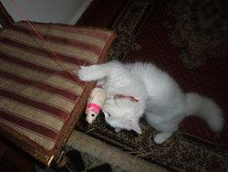 Katy, chat Angora turc