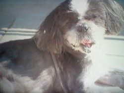 Mogwai, chien Shih Tzu