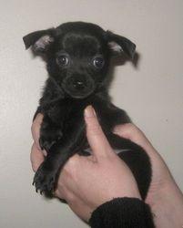 Gavroche , chien Chihuahua