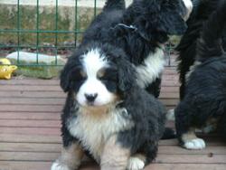 Genzo, chien Bouvier bernois