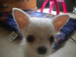 Kwini, chien Chihuahua