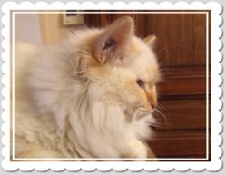 Barnabé, chat Birman