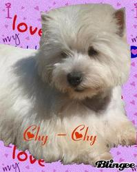Chy Chy, chien West Highland White Terrier