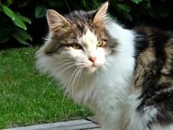 Oliver, chat Norvégien