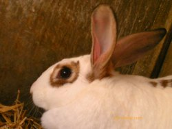 Stephie, rongeur Lapin