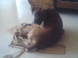 Daphnée, chien Boxer