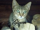 Gloom, chat Européen