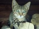 Gloom, chat Européen