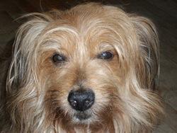 Max, chien Fox-Terrier