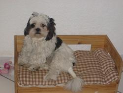 Calypso, chien Lhassa Apso