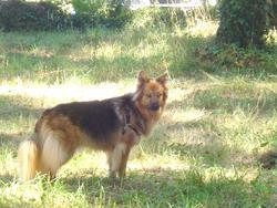 Papaye, chien Berger belge