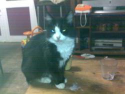 Tornade, chat Angora turc