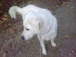 Chipie, chien Chien de montagne des Pyrénées