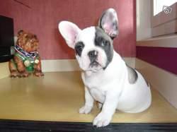 Funky, chien Bouledogue français