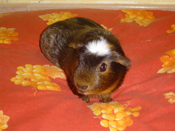 Moka, rongeur Cochon d'Inde
