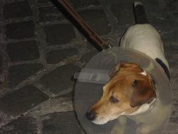 Hanoï, chien Jack Russell Terrier