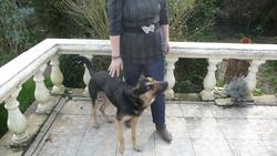Westy, chien Berger blanc suisse