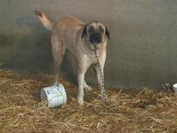 Matoune, chien Berger d'Anatolie