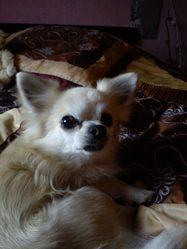 Voyou, chien Chihuahua