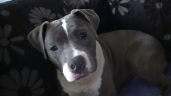 Fawina, chien American Staffordshire Terrier