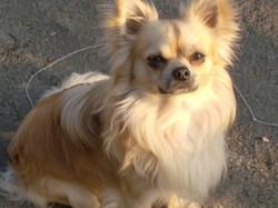 Balthazar , chien Chihuahua