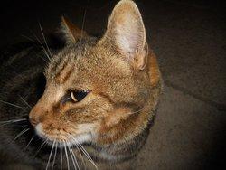 Sidney, chat Gouttière