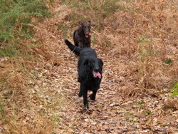 Sissie Et Princess, chien Flat-Coated Retriever