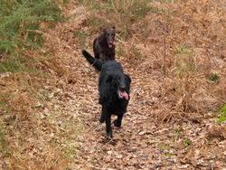 Sissie Et Princess, chien Flat-Coated Retriever