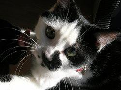 Cocie, chat Européen