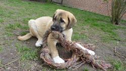 Kâlî, chien Berger d'Anatolie