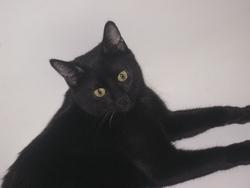 Gypsy, chat Gouttière